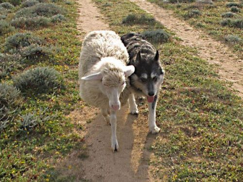 mandorla e pecorella